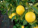 Güneş Lekelerine Limonlu Kür
